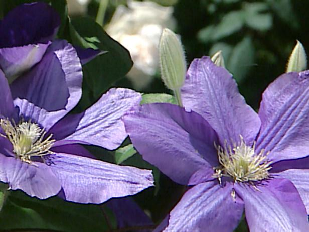 Upwardly_Mobile_clematis_flowers