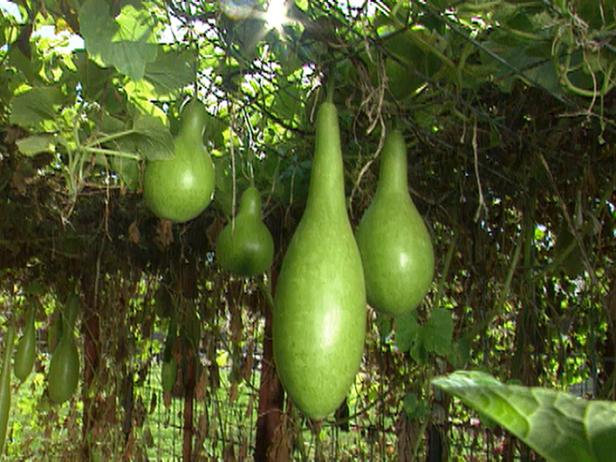 Upwardly_Mobile_gourds_hanging