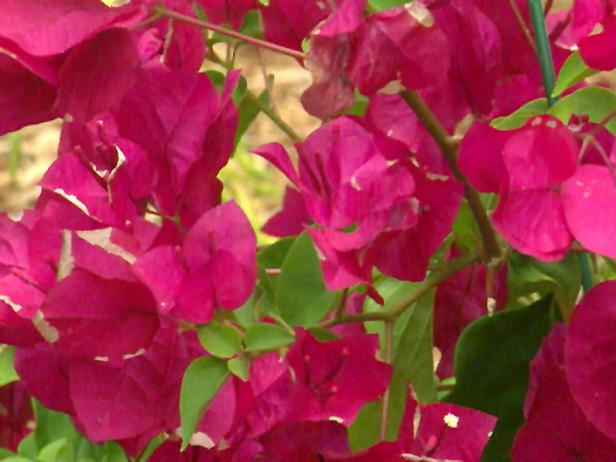 Upwardly_mobile_bougainvillea