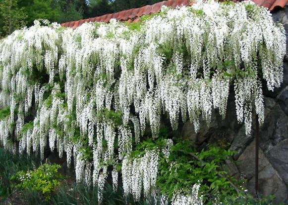 Upwardly_Mobile_wisteria_wall