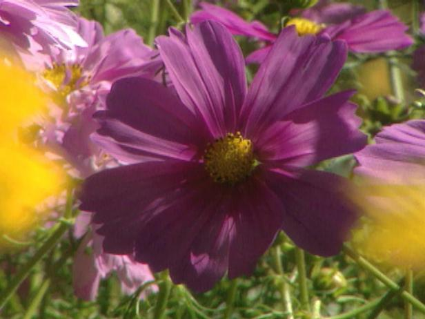 gby1306_2a_cosmos_big_bloom