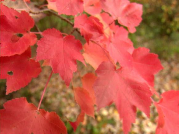 gby1307_2g_acer_rubrum