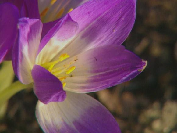 gby1311_2c_colchicums_bloom