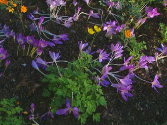 gby1311_2f_colchicums_lying_down