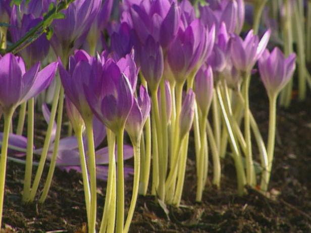 gby1311_2a_purple_colchicums