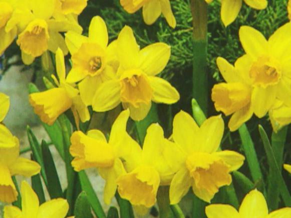 gby1310_1e_tete_a_tete_daffodil