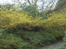 gby1402_yellowwitchhazel