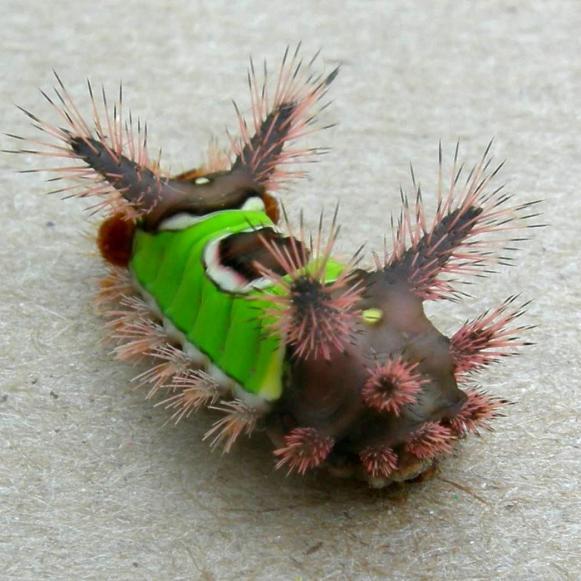 saddleback_caterpillar_new