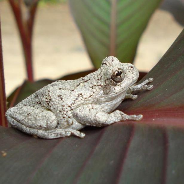 Cope S Gray Tree Frog Hgtv