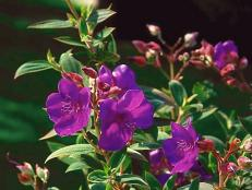 princess_Tibouchina_monrovia