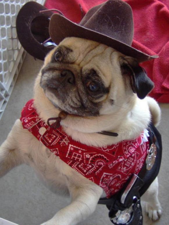 pug_cowboy_costume