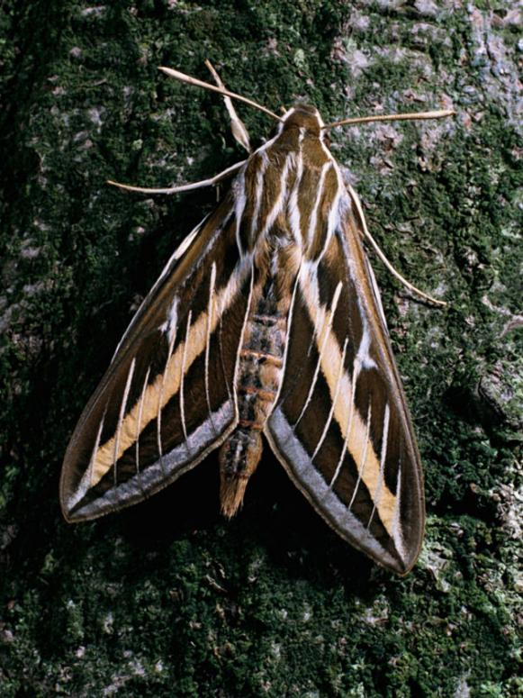white-lined-sphinx-moth_adult