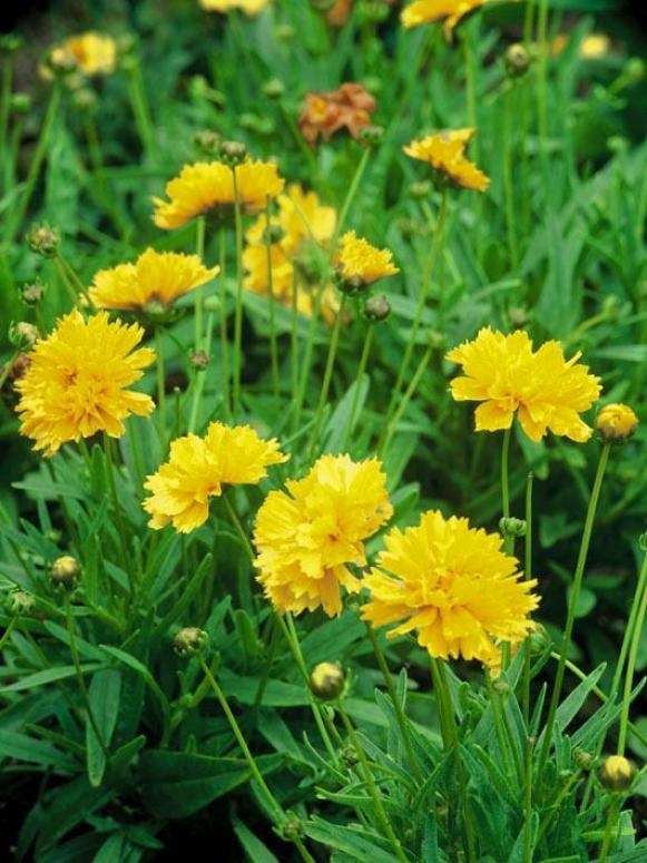 coreopsis_grandiflora