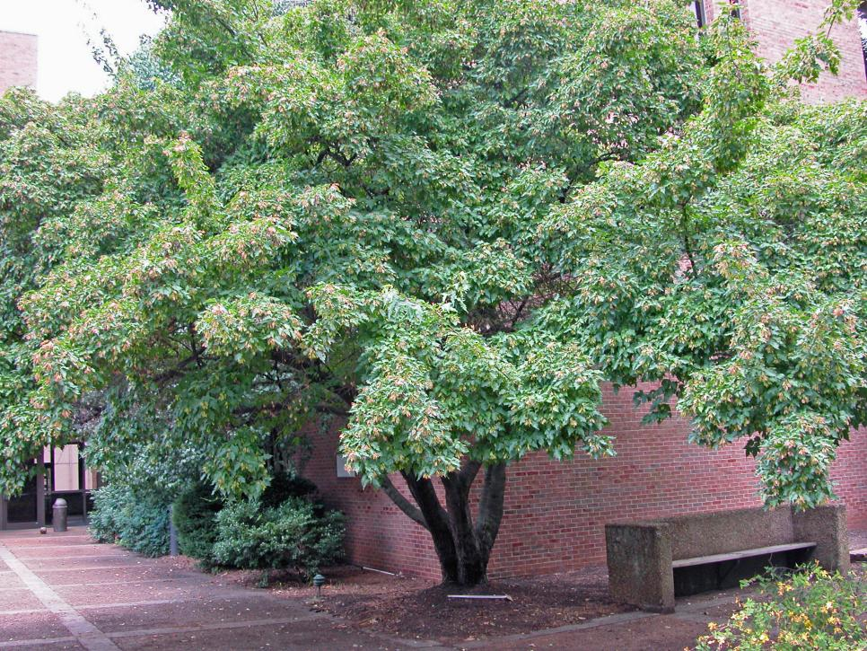 12 great patio trees hgtv for Great small trees for landscaping