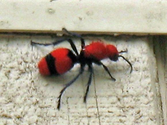red-velvet-ant