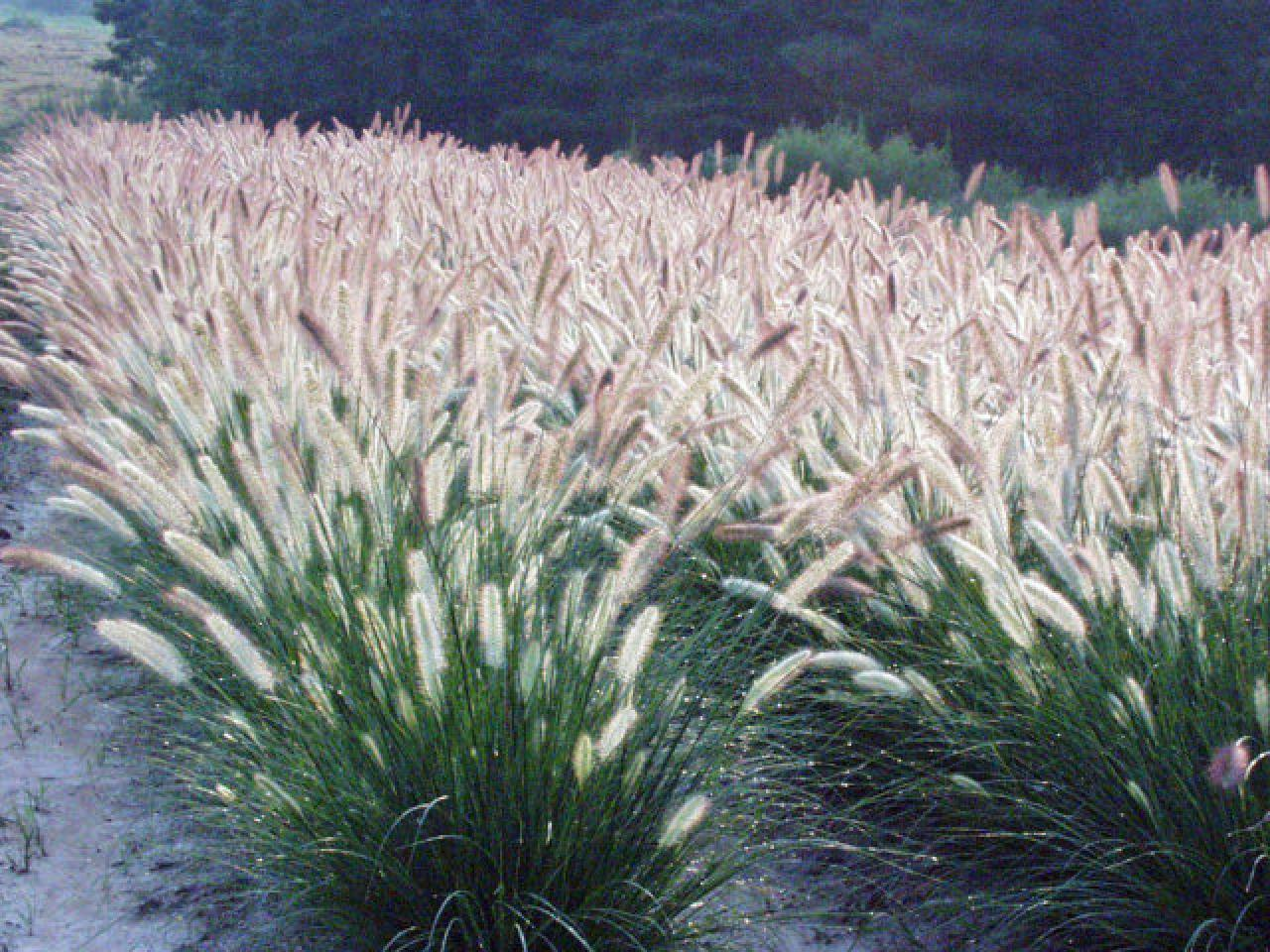 Types of ornamental grasses hgtv for Full sun ornamental grass