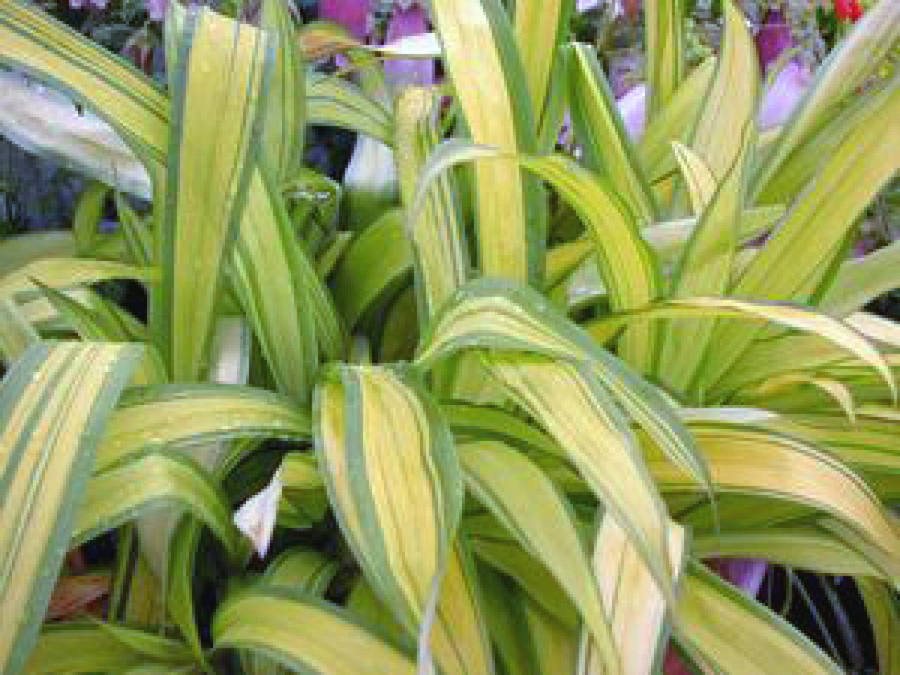 Ornamental grasses zone 5 - Grass_bananaboat_walters2