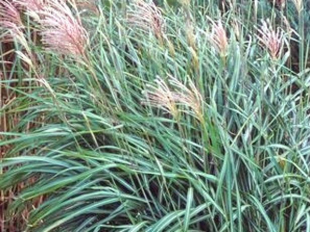 ornamental grasses and grass varieties hgtv