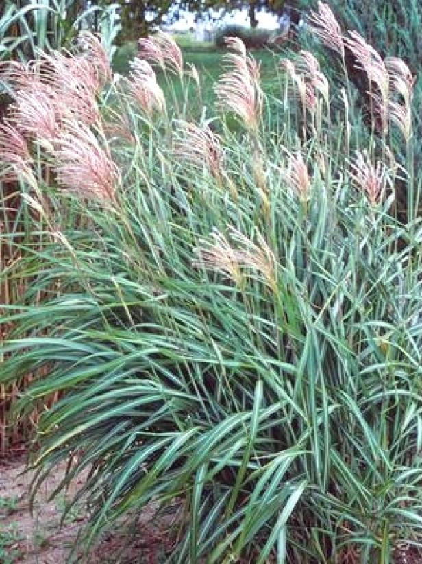 Types of ornamental grasses landscaping ideas and for Tall grass landscape ideas