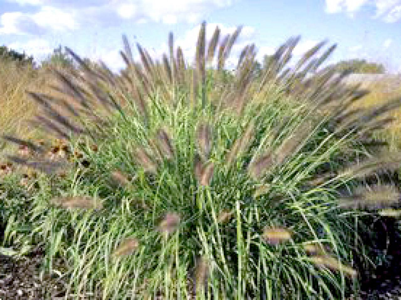 Types of ornamental grasses hgtv for Different grasses for landscaping
