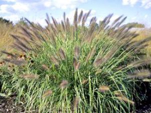 grass_redhead_walters2