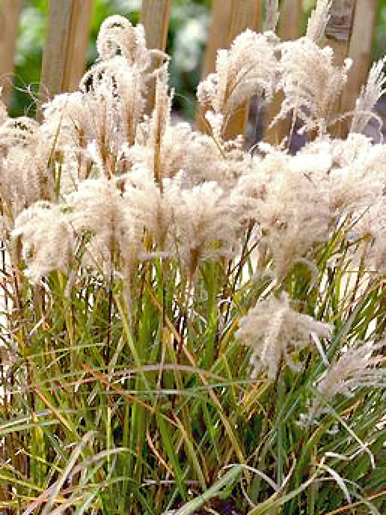 Types of ornamental grasses hgtv for Ornamental grass ideas
