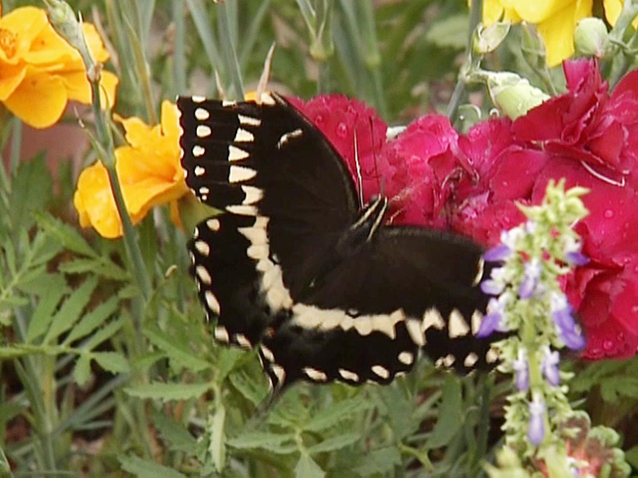Attracting Butterflies to the Garden
