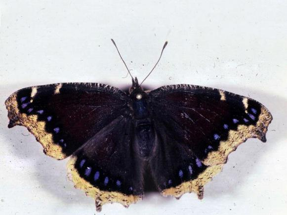 Butterfly-Mourning-Cloak-Hyche-Bugwood_s4x3
