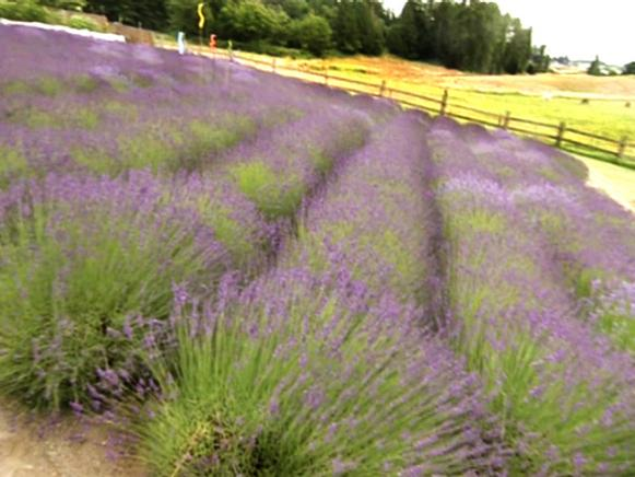 gby1904_1-lavender-field_s4x3