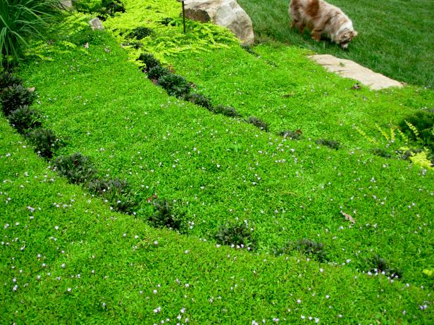 Terraced Hillside Covered With Groundcover Plants