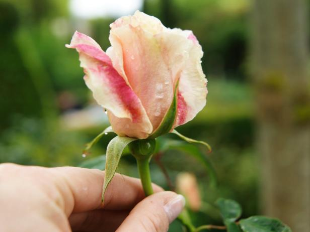 Pale Pink Rose in Hand
