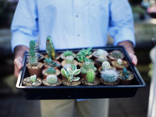 Tray of Potted Cacti