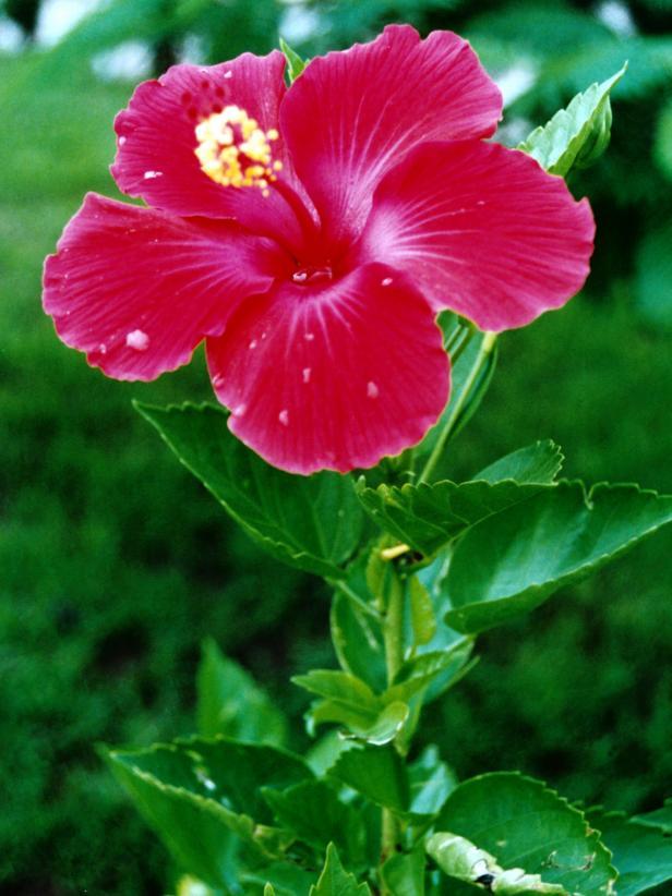 Tropical Hardy Hibiscus Hgtv