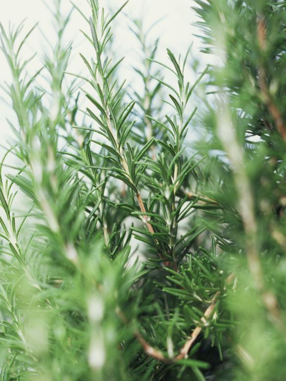 Fresh Rosemary