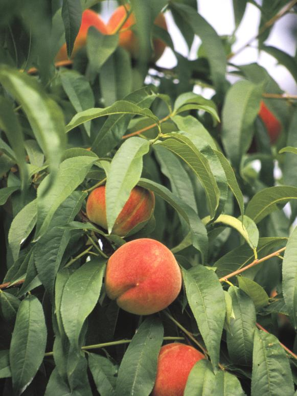 Peach Tree with Ripening Fruit