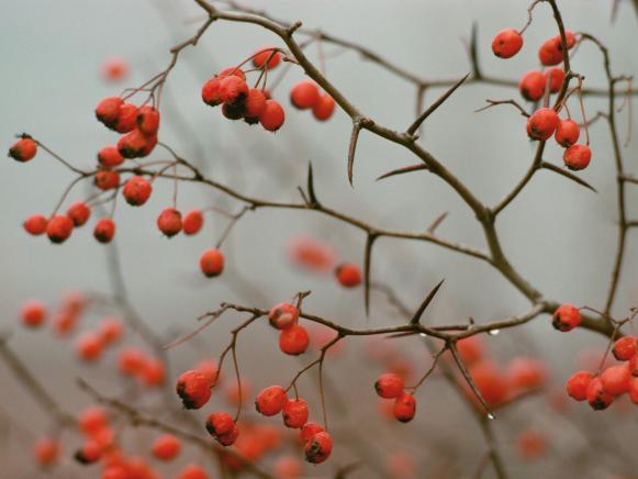Red Berries of Buckthorn Canada