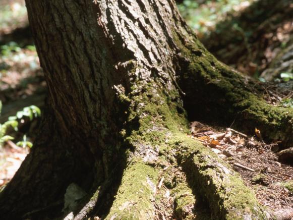 Mature Tree Roots