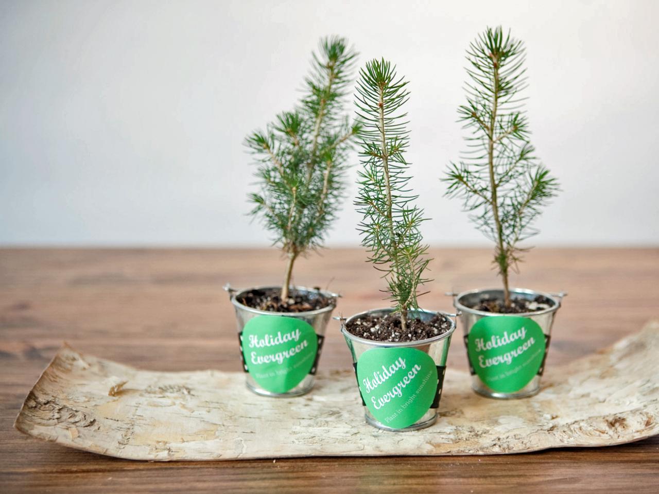 Make Evergreen Tree Holiday Party Favors HGTV - Christmas Tree Seedlings