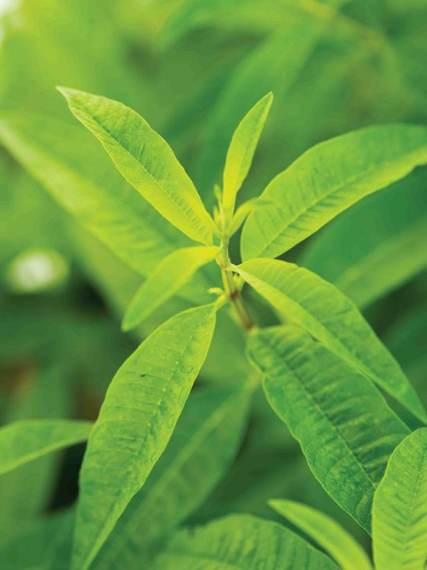 Verbena Varieties To Grow Hgtv
