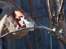 Hand Pruning a Branch