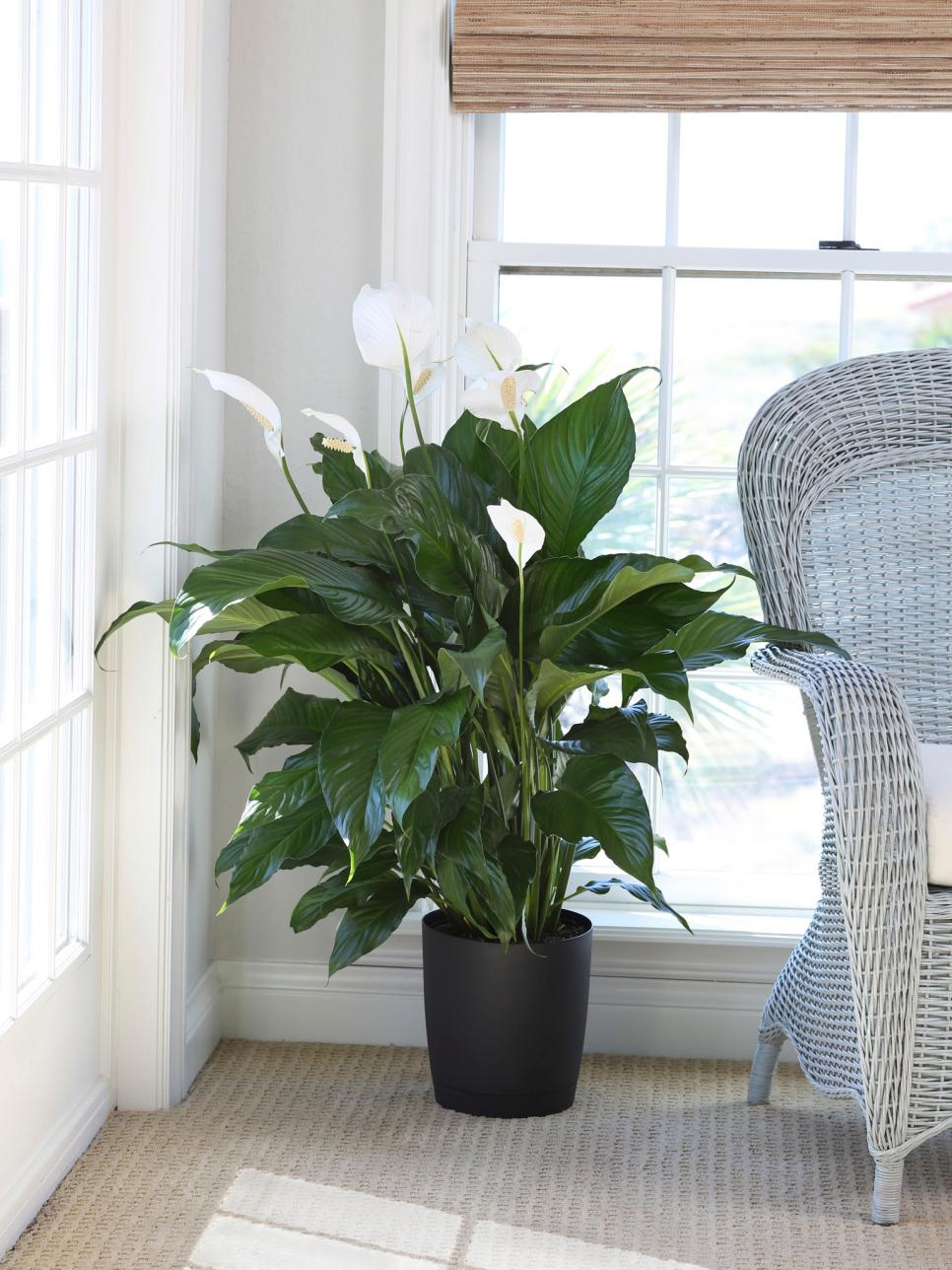 Peace lily care tips hgtv - Indoor house flowers ...