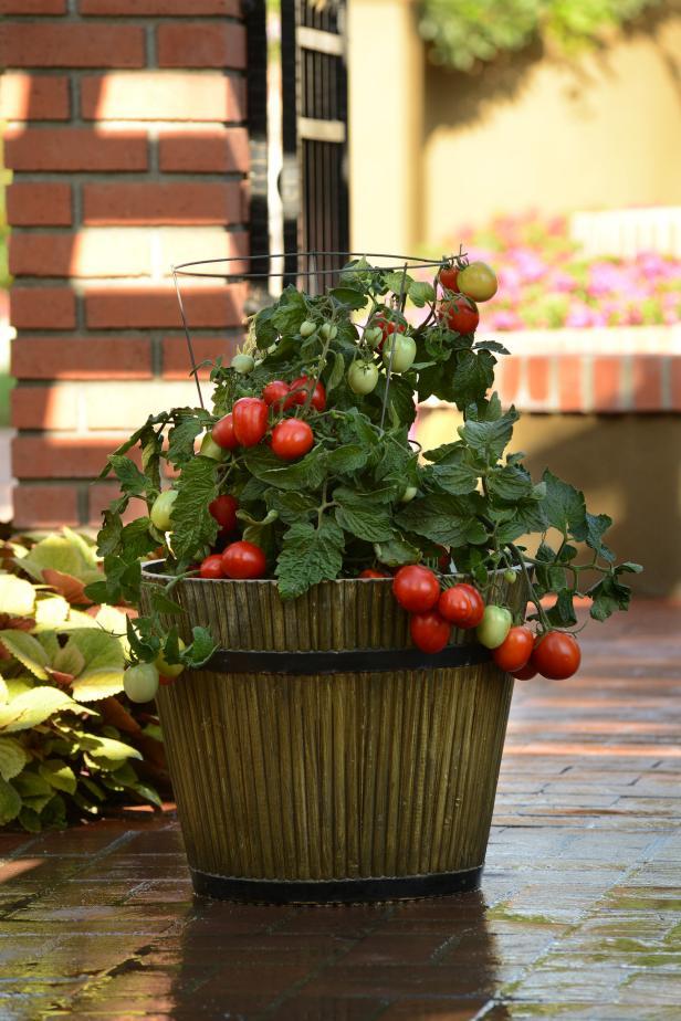 'Little Napoli' Tomato