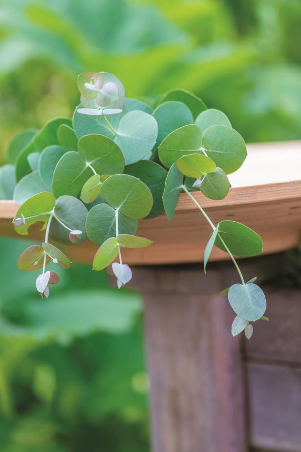 'Silverdrop' Eucalyptus