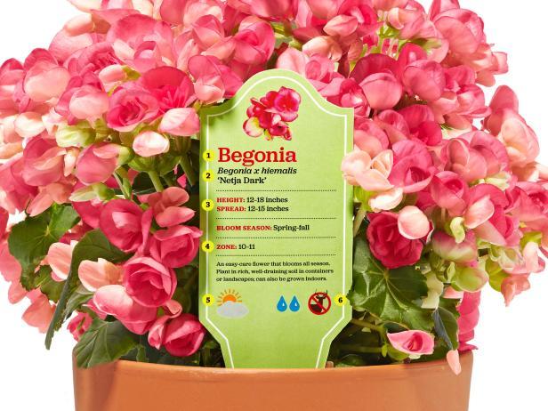 Begonia Plant Tag