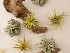 Tillandsia Air Plants on a Wall