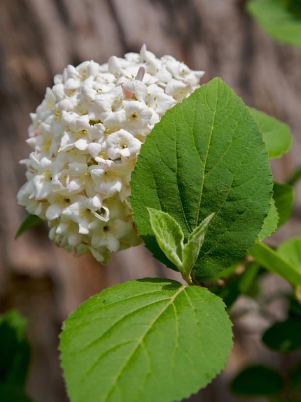 Snowball bush flowering