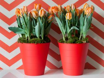 Orange And Green Tulips