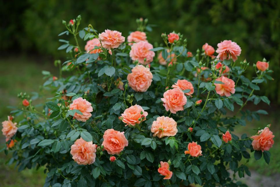 10 Gorgeous New Roses To Grow For 2018 Hgtv