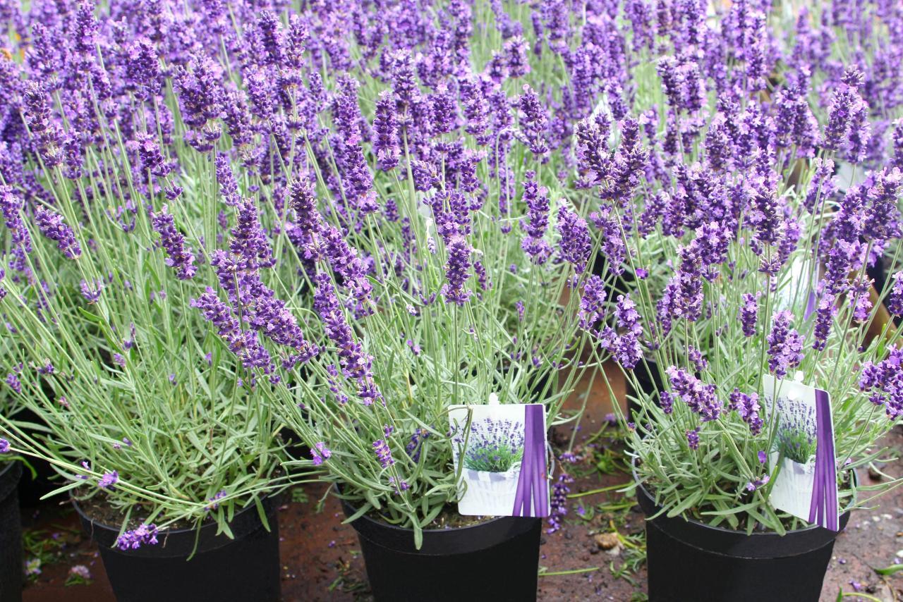 spanish lavender how to grow prune
