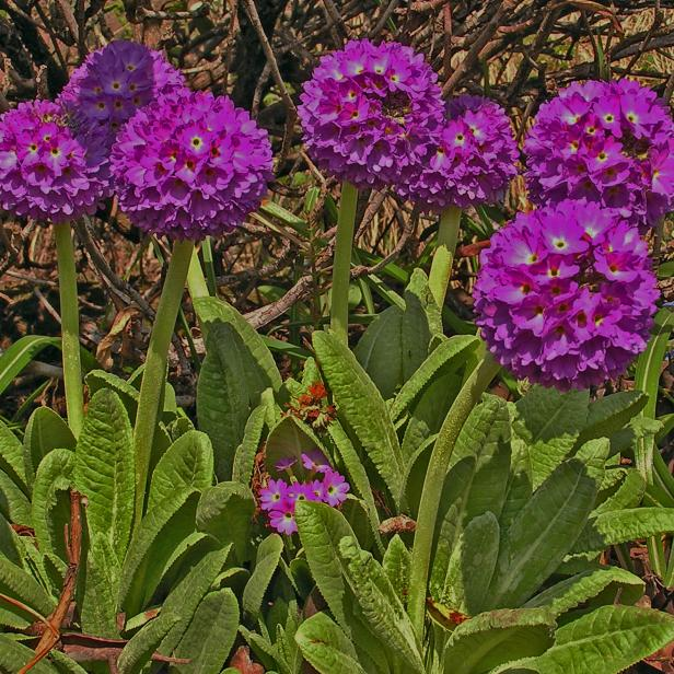 Drumstick primrose has scented, cut-flower quality blooms.